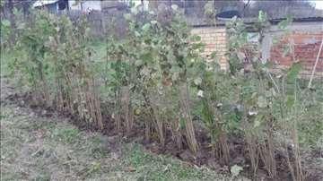 Lešnik sadnice