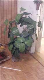 Fikus biljka veštačka( kao pravi)