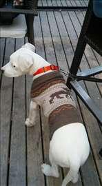 Argentinski pas, štene
