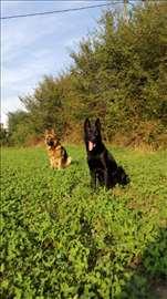Nemački ovčar, mlad pas