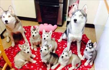 Sibirski haski, štene