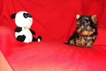 Jorkširski terijer štene min i standard veličine