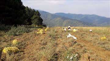 Planinski krompir