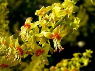 Kelreuterija sadnice (Koelreuteria paniculata)