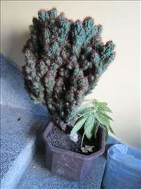 Kaktus Cereusmonstruosa