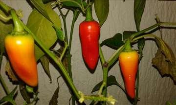 Seme chili papričica