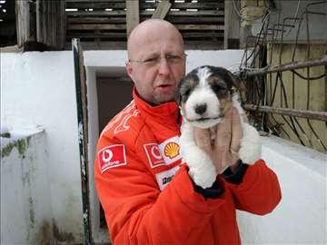 Foksterijer oštrodlaki, štene