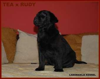 Labrador retriver, štenci cokoladni i crni