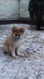 Akita, štene na prodaju