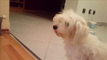 Bolonjski pas, štene sa papirim
