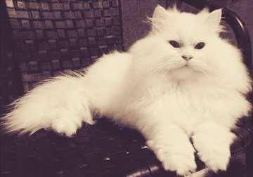 Persijski mačor-spreman za parenje