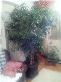 Bendžamin, zdravo negovano drvo. Visina preko 2m