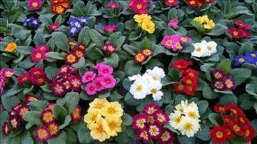 Prodaja osmomartovskog cveća