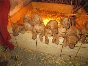 Mađarska vižla kratkodlaka, štene