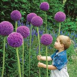 Ukrasni luk - Allium giganteum