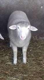 Texel jagnje na prodaju