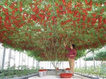Drvo Paradajz - Džinovsko drvo paradajza