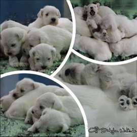 Beli patuljsti štenci - štenci