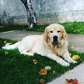 Zlatni retriver, mlad pas