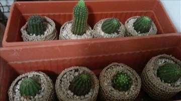 Kaktusi za kuću
