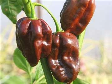 Cokoladna cili paprika Chocolate Habanero - Chili