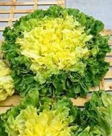 Salata Endivija domaće seme