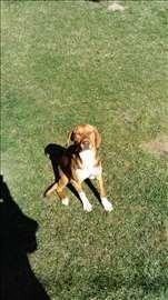 Srpski trobojni gonič, štene