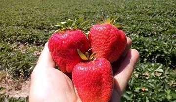 Plantaže jagoda