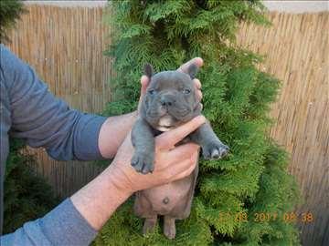American bully plavi štenci za prodaju