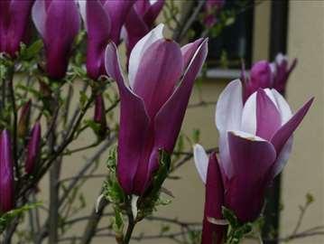 Magnolija, sadnice