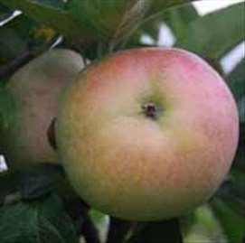 Budimka jabuka, sadnice
