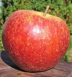 Jonagored jabuka, sadnice