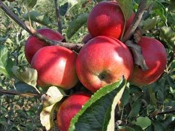 Kožara jabuka, sadnice