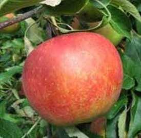 Melrouz jabuka, sadnice
