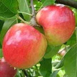 Prima jabuka, sadnice