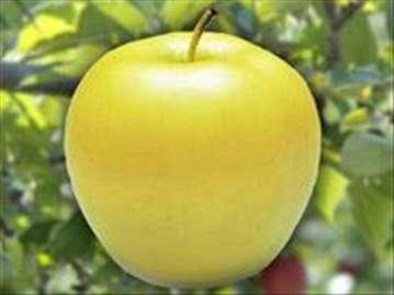 Zlatni Delišes klon B jabuka, sadnice