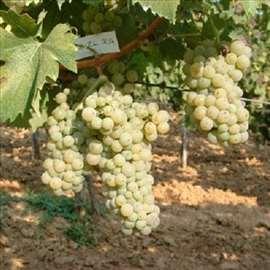 Italijanski rizling, voćne sadnice loznog kalema