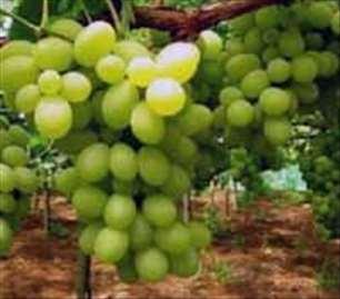 Muskat Italija, voćne sadnice loznog kalema