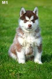 Rezervacija štenadi sibirskog haskija