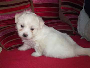 Tulearski pas, štene, skroz belo, cena po dogovoru