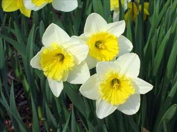 Narcis - top cena