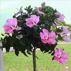 Baštenski hibiskus - Hibiscus syriacus-seme