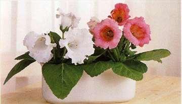Gloksinija pink baštenska saksijka seme