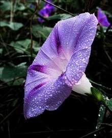 Ladolež ljubičasti-seme