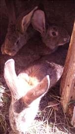Prodajem zečeve belgijskog orijaša