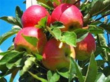 Voćne sadnice jabuke Elstar