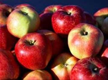 Voćne sadnice jabuke Melroze