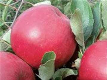 Voćne sadnice jabuke sorte Ajdared