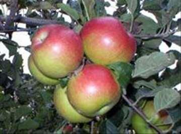Voćne sadnice jabuke sorte Prima