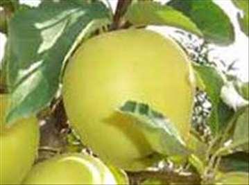 Voćne sadnice jabuke sorte Zlatni Delišes klon B